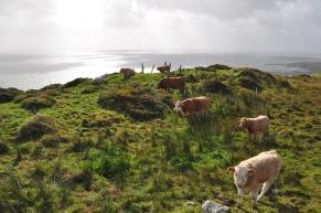 cows-3636137_640