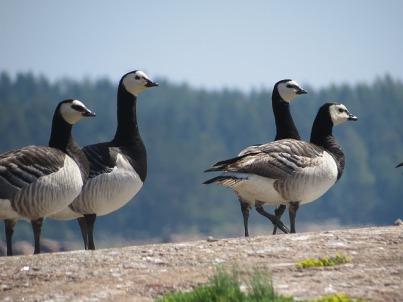 barnacle-goose-1483070_640